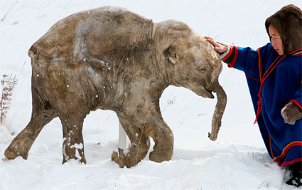 Lyuba, the 40,000-year-old mammoth from Siberia